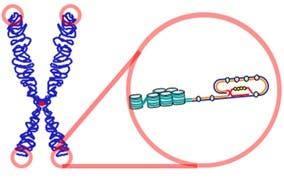 Cromosoma (izquierda) y telómero (derecha)