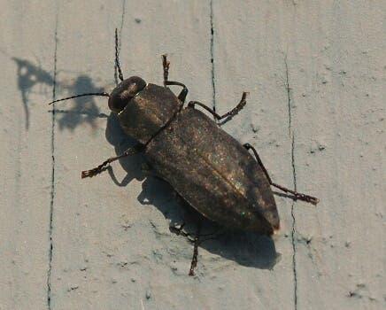 Escarabajo Melanophila