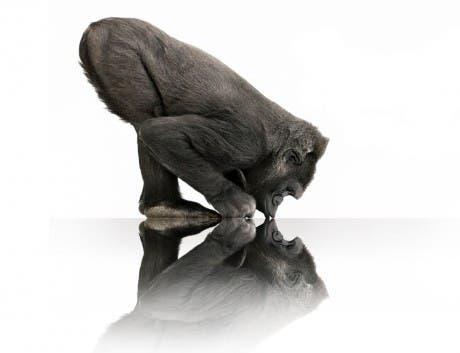 "Imagen de un gorilla, ""mascota"" del Gorilla Glass de Corning"