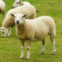 Fotografía de varias ovejas