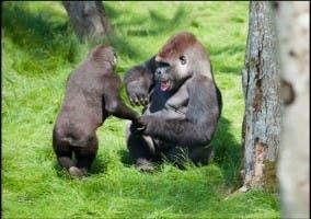 Reencuentro de dos gorilas hermanos