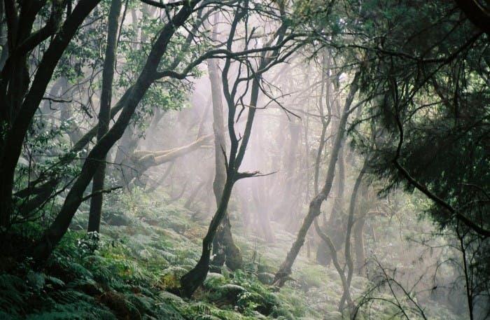 Laurisilva presente en el Parque Nacional del Garajonay