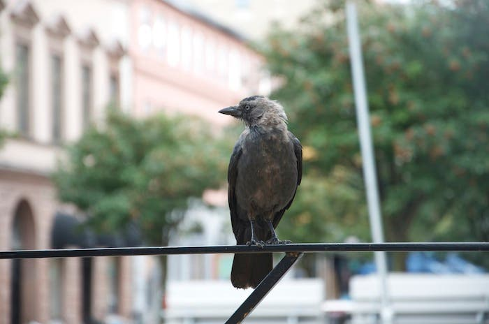 Cuervo negro en Suecia