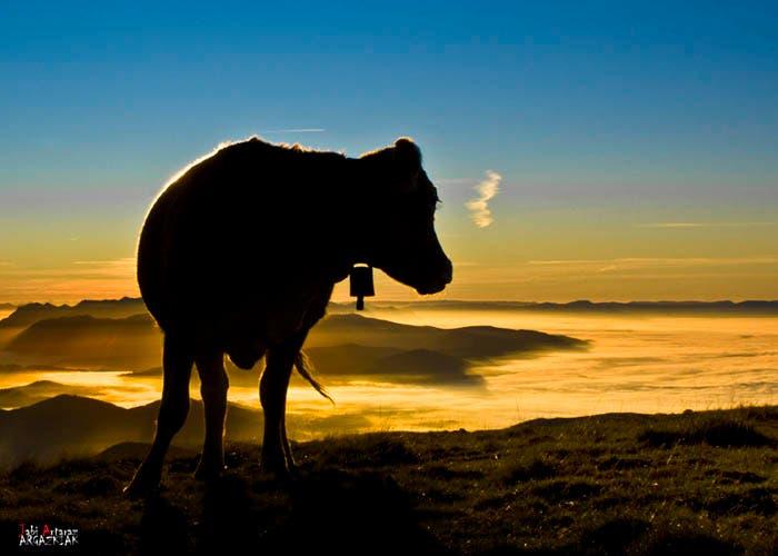 Vaca amanecer por Javi Artaraz