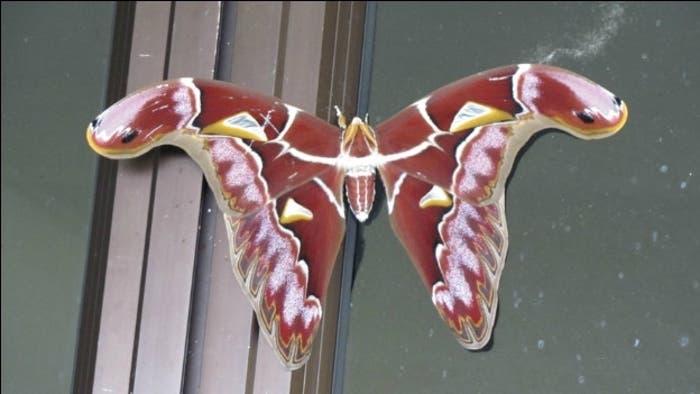 Nueva especie de mariposa descubierta en el Monte Kinabalu