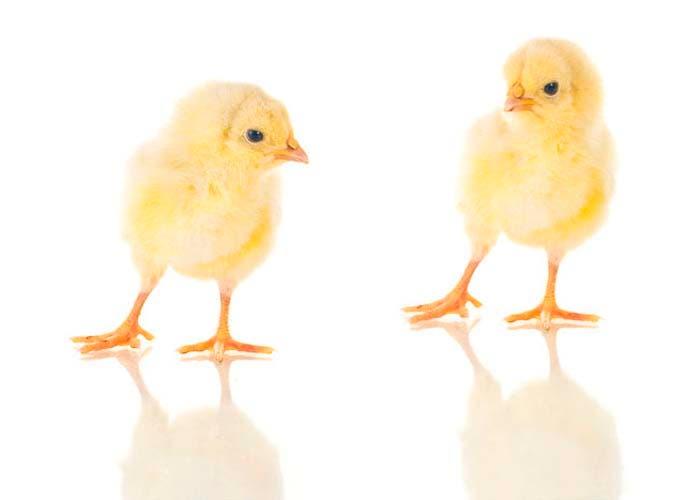 Un par de pollitos amarillos.