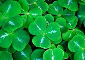 Conjunto de tréboles verdes