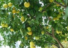 limones limón limorero