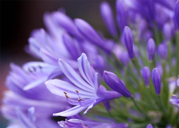 Detalle de la flor violeta