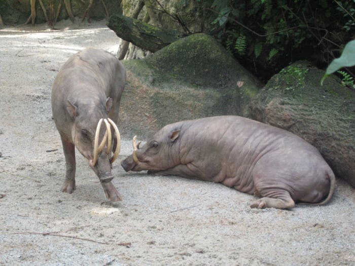 Cerdo de Indonesia