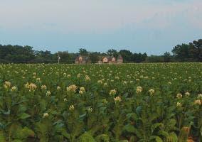 Plantas de tabaco