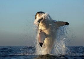 tiburón saltando por su presa