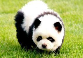 Imagen de un pandog, el perro panda