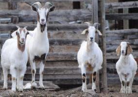 Una familia de cabras
