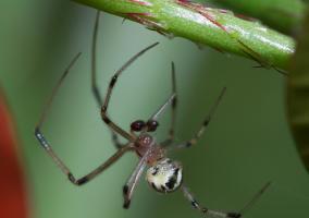 Araña Theridiidae