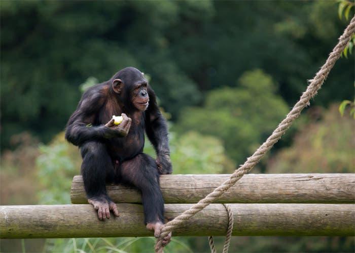 Las Dos Especies Mas Cercanas Al Ser Humano Intercambiaron Adn
