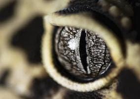 Ojo de un gecko
