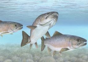 Ilustración de tres salmones