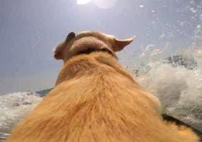 Perro en el mar con una GoPro
