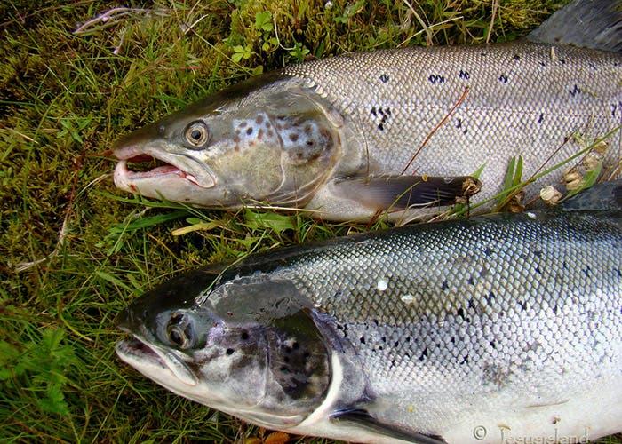 Salmon atlantico