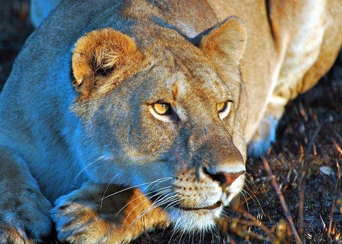 leona-tumbada
