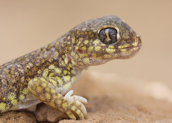 La NASA está diseñando robots inspirados en geckos que pueden escalar casi cualquier pared