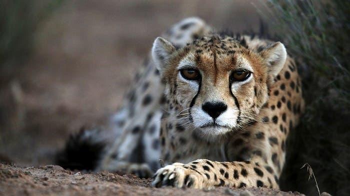 Los últimos guepardos asiáticos se recluyen en Irán