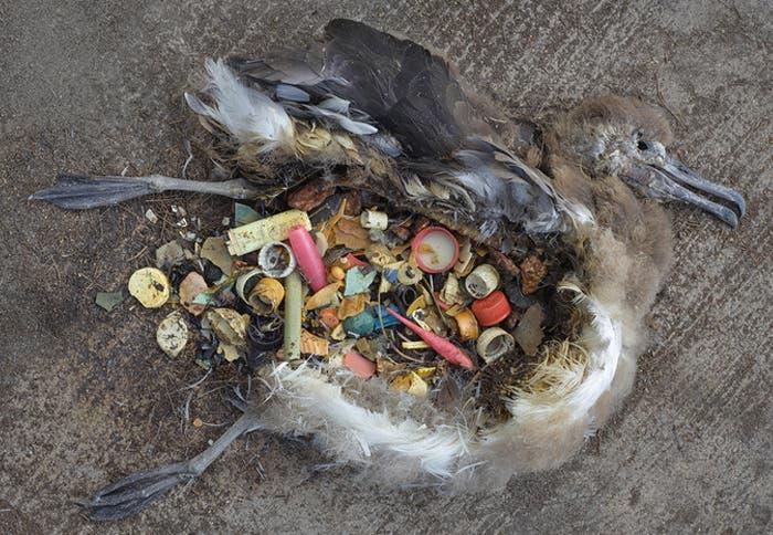 albatros-plastico