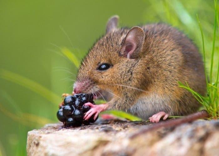 Ratón asesino pulso laser